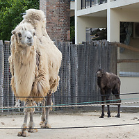 Five days old Bactrian camel (Camelus bactrianus) baby is seen with her mother in Budapest Zoo in Budapest, Hungary on June 3, 2020. ATTILA VOLGYI