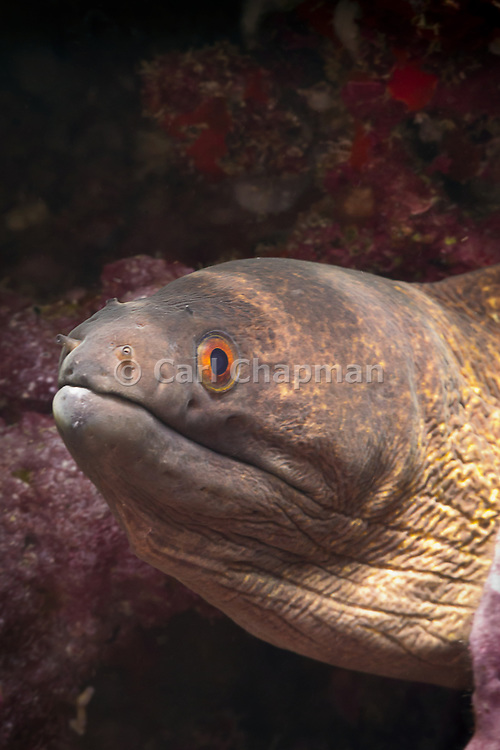 Yellow-margin or Yellow-edged Moray Eel (Gymnothorax flavimarginatus) - Agincourt Reef, Great Barrier Reef, Queensland, Australia. <br />