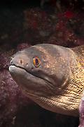 Yellow-margin or Yellow-edged Moray Eel (Gymnothorax flavimarginatus) - Agincourt Reef, Great Barrier Reef, Queensland, Australia. <br /> <br /> Editions:- Open Edition Print / Stock Image