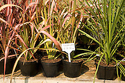 Potted phormiums on sale