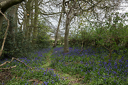 Wendover, UK. 28th April, 2021. A carpet of bluebells alongside a track in ancient woodland at Jones Hill Wood in the Chilterns AONB. The felling for the HS2 high-speed rail link of a large section of Jones Hill Wood, which contains resting places and/or breeding sites for pipistrelle, barbastelle, noctule, brown long-eared and natterer's bats and is said to have inspired Roald Dahl's Fantastic Mr Fox, has resumed after a High Court judge refused environmental campaigner Mark Keir permission to apply for judicial review and lifted an injunction preventing further felling.