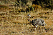 Darwin's Rhea running in a area of open scrub in the grasslands of Patagonia.