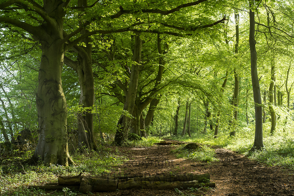 Woodland path by ancient beech trees - Fagus - in late Spring / early Summer in the Gloucestershire Cotswolds, UK