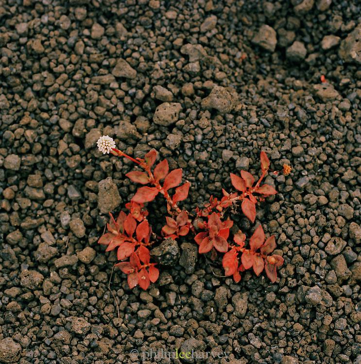 Flowers grow from beneath small rocks Hawaii Volcanoes National Park, Hawaii, USA