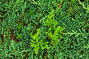 Clubmoss at Brackley Beach<br />