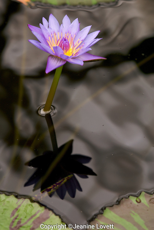 Water lily creating a refection in the water.