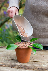 Taking leaf bud cuttings from a camellia. Planting around edge of terracotta pot and adding grit