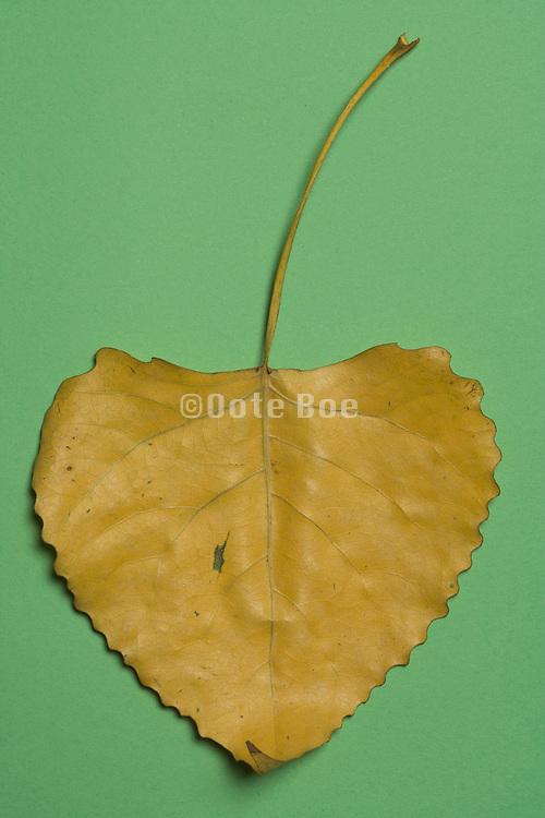 still life of a dried leaf