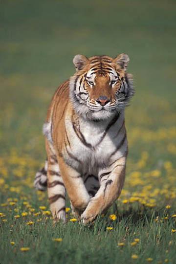 Bengal Tiger, (Panthera tigris) In meadow.  Captive Animal.