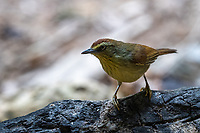 The pin-striped tit-babbler (Macronus gularis), also known as the yellow-breasted babbler, is a species of Old World babbler found in South and Southeast Asia.