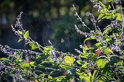 Cobweb on Salvia stachydifolia
