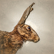 Close up of a hare