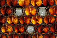 DEU, Deutschland: Biene, Honigbiene (Apis mellifera), Brutwabe mit drei Puppen, Alter ca. 15 Tage, rund um die Puppen sind die anderen Tiere schon geschlüpft, die Waben sind leer, die drei Puppen in der Wabe sind freipräpariert zur Veranschaulichung, normalerweise sind Puppen so lange verdeckelt bis das fertige Tier schlüpft, dies geschieht bei Arbeiterinnen nach 21 Tagen, Bienenstation an der Bayerischen Julius-Maximilians-Universität Würzburg | DEU, Germany: Bee, Honey-bee (Apis mellifera), brood honeycomb with pupas, about 15 days old,  the honeycomb and the pupas in the cells are specially prepared for illustration to show that the honeycomb is like a bood reactor, normally the pupas are covered with the lids as long until the totally developed bee is hatching and this happenes with a workerbee after 21 days, Beestation at the Bavarian Julius-Maximilians-University Würzburg