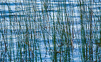 Reeds growing on the edge of a lake. Amazing reflections in the water below.