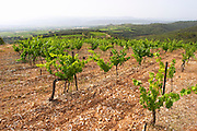 Domaine du Mas de Daumas Gassac. in Aniane. Languedoc. Muscat grape vine variety. La Cerane plot. Terroir soil. France. Europe. Vineyard. Soil with stones rocks.
