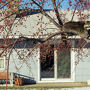 Raccoon, (Procyon lotor) Sitting in crabapple tree in residential area. Bozeman, Montana.  Captive Animal.