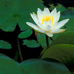 Groveland, MA.Fragrant WaterLily, Nymphaea odorata, in Meadow Pond on land recently protected by TPL.  Stephenson's Way..