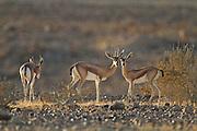 a herd of Dorcas Gazelle (Gazella dorcas), also known as the Ariel Gazelle Photographed in the Negev Desert, Israel
