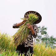 A woman wearing a conical hat harvesting paddy rice in Phu Vinh village, Ha Tay province, Vietnam.