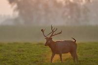 Male Père David's deer, or Milu, Elaphurus davidianus, a stag on grass in the morning mist in Hubei Tian'ezhou Milu National Nature Reserve, Shishou, Hubei, China