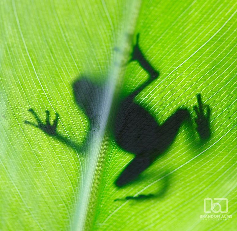 A macro shot of a Posion Dart Frog backlit on a tropical leaf.