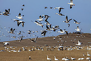 Snow and Blue Geese in North Dakota
