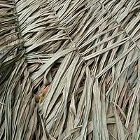 Thatched palm leaves roof a hut in San Juan de Yanayacu village in Peru's Amazon Jungle.