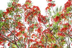 Royal Poinciana Tree Delonix Regia #19