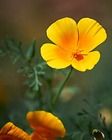 California Poppy flower. Image taken with a Leica SL2 camera and 90-280 mm lens.