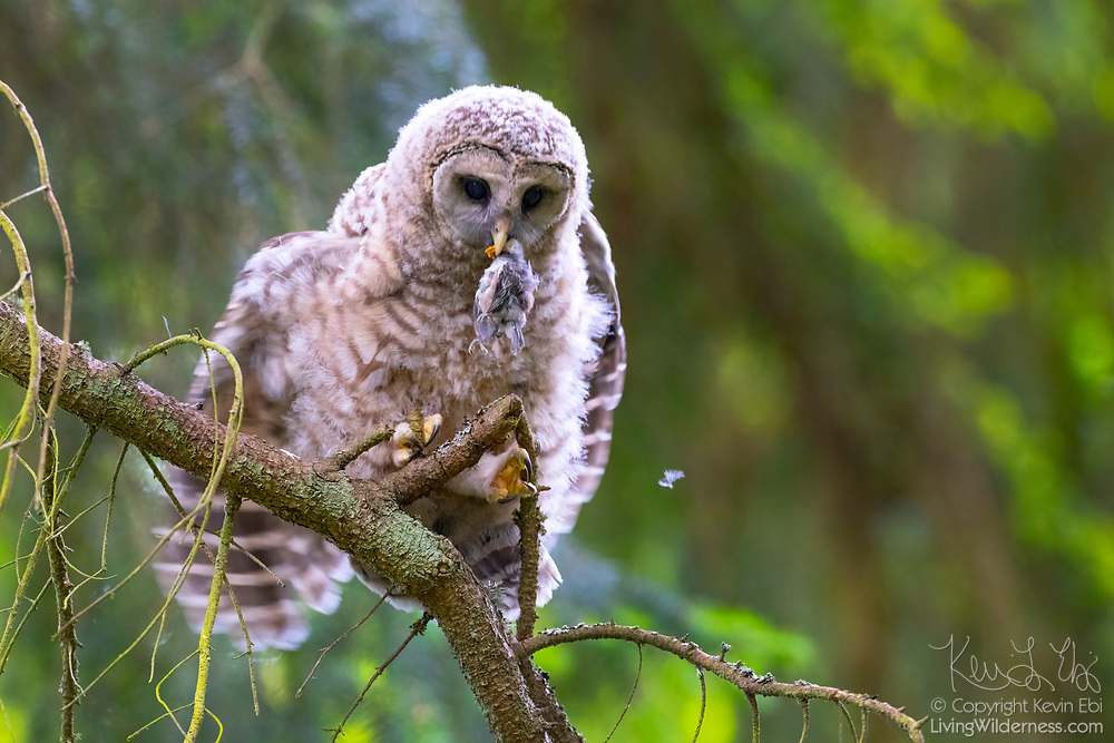 A young barred owl (Strix varia) tries to get its balance on the branch of a tree while it feeds on a baby robin in Edmonds, Washington.