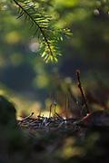 Moss Buxbaumia aphylla on forest floor, Tīreļpurvs, Zemgale, Latvia Ⓒ Davis Ulands   davisulands.com