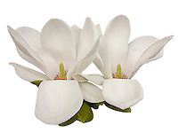 Two Magnolia blossoms with petals (carpels not really petals) bent down to reveal the flower parts inside.