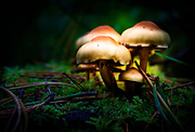 A small group of mushrooms bloom in a bed of moss on the forest floor.