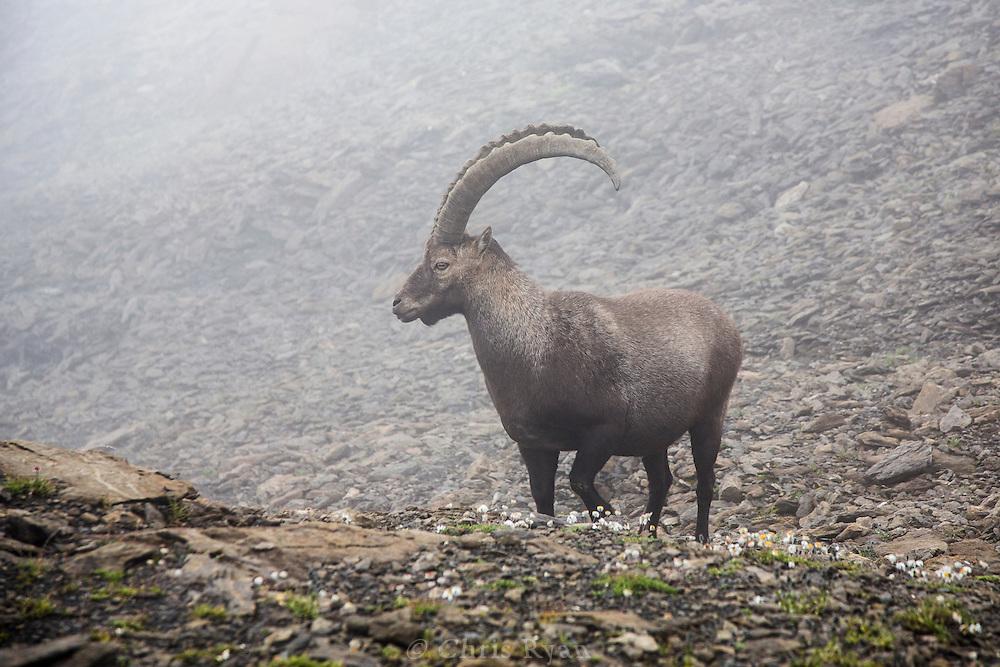 Ibex, Via Alpina, Swiss Alps