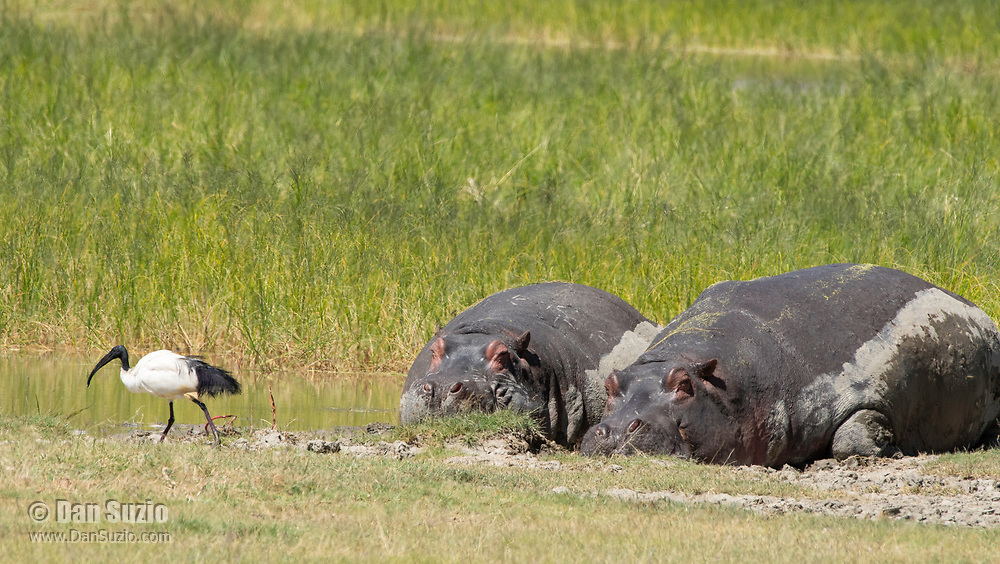 Two Hippopotamuses, Hippopotamus amphibius, rest at the edge of a pond while a Sacred Ibis, Threskiornis aethiopicus, passes by. Ngorongoro Crater, Ngorongoro Conservation Area, Tanzania.