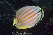 ornate butterflyfish, Chaetodon ornatissimus, Bay of Wrecks, Christmas Island, Line Islands, Republic of Kiribati (Pacific)
