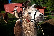 Llamas in Brevard, NC in the Blue Ridge mountains of western North Carolina.