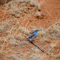 A bluebird perches on a stick as it picks through dried grasses in Thoreau Friday.