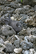 Kermedel Petrel, Ducie Island, Pitcairn Group<br />