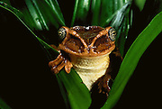 Bone-headed tree frog (Trachycephalus jordani)<br /> CAPTIVE<br /> Coast<br /> ECUADOR. South America<br /> RANGE: Ecuador