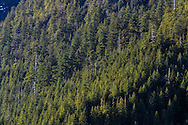 A Hemlock forest on the mountain slopes at Golden Ears Provincial Park, Maple Ridge, British Columbia, Canada