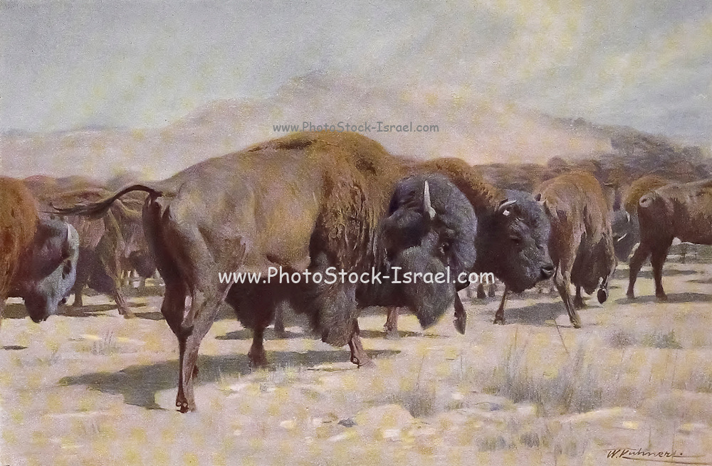 European bison (Bison bonasus) from the book '  Animal portraiture ' by Richard Lydekker, and illustrated by Wilhelm Kuhnert, Published in London by Frederick Warne & Co. in 1912