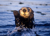 Sea Otter jumps out of the water, Monterey Bay California