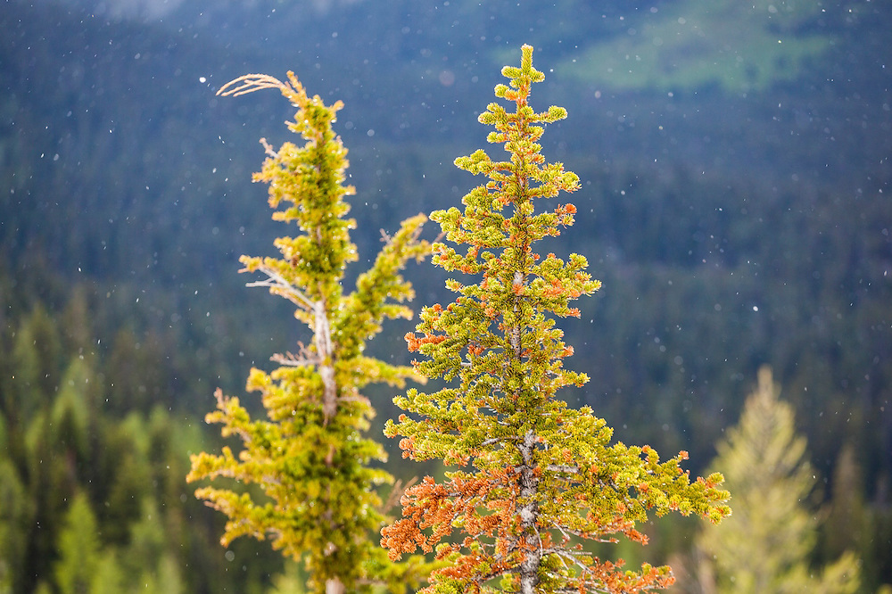 Pine trees with falling snow flakes on the trail to Blue Lake, the North Cascades Scenic Highway Corridor, Washington.