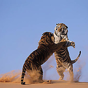 Tigers on coral sand dunes ***NON EDITORIAL USE ONLY***  Captive Animal.