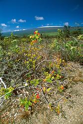 alpine berry, `Ohelo, Vaccinium reticulatum, Mauna Loa volcanic mountain with snow on summit in background, Hawaii, USA Volcanoes National Park, Kilauea, Big Island, Hawaii, USA
