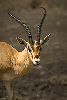 A Grant's Gazelle on the scorched savanna of the Serengeti National Park, Tanzania