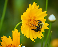 Lance-leaf Coreopsis with Bee. Image taken with a Nikon N1V3 camera and 70-300 mm VR lens