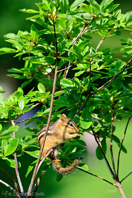 """This eastern chipmunk (Tamias striatus) is eating while perched on a small tree branch in Mount Auburn Cemetery, Cambridge, Massachusetts.  Although they climb trees well, it is rare to see them on such small branches.  They generally construct underground nests with extensive tunnel systems, and several entrances.  To hide the construction of its burrow, the eastern chipmunk carries soil away from its hole in its cheek pouches.  <br /> <br /> The eastern chipmunk is the sole living member of the chipmunk subgenus Tamias, and is found only in eastern North America.  The name """"chipmunk"""" is derived from the Algonquian language meaning """"one who descends trees headlong.""""  <br /> <br /> The eastern chipmunk reaches 30 cm (12 in) in length including the tail, with a weight of 66–150 g (2.3–5.3 oz).  Interestingly, it has two fewer teeth than other chipmunks and four toes each on the front legs, but five toes on each of the hind legs.  They are mainly active during the day, consuming bulbs, seeds, fruits, nuts, green plants, mushrooms, insects, worms, and bird eggs.  <br /> <br /> The eastern chipmunk leads a solitary life, except during mating season. Females usually produce one or two litters of three to five young, usually from February to April and/or June to August. On average, eastern chipmunks live three or more years in the wild, although in captivity they may live up to eight years."""