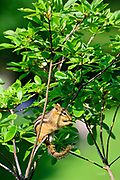 "This eastern chipmunk (Tamias striatus) is eating while perched on a small tree branch in Mount Auburn Cemetery, Cambridge, Massachusetts.  Although they climb trees well, it is rare to see them on such small branches.  They generally construct underground nests with extensive tunnel systems, and several entrances.  To hide the construction of its burrow, the eastern chipmunk carries soil away from its hole in its cheek pouches.  <br /> <br /> The eastern chipmunk is the sole living member of the chipmunk subgenus Tamias, and is found only in eastern North America.  The name ""chipmunk"" is derived from the Algonquian language meaning ""one who descends trees headlong.""  <br /> <br /> The eastern chipmunk reaches 30 cm (12 in) in length including the tail, with a weight of 66–150 g (2.3–5.3 oz).  Interestingly, it has two fewer teeth than other chipmunks and four toes each on the front legs, but five toes on each of the hind legs.  They are mainly active during the day, consuming bulbs, seeds, fruits, nuts, green plants, mushrooms, insects, worms, and bird eggs.  <br /> <br /> The eastern chipmunk leads a solitary life, except during mating season. Females usually produce one or two litters of three to five young, usually from February to April and/or June to August. On average, eastern chipmunks live three or more years in the wild, although in captivity they may live up to eight years."